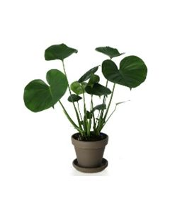 Monstera - Pot de Ø 16 cm