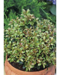 Andromède du Japon 'Little Heath Green'