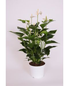 Anthurium 'Champion' Blanc