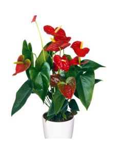 Anthurium 'Dakota', langue de feu