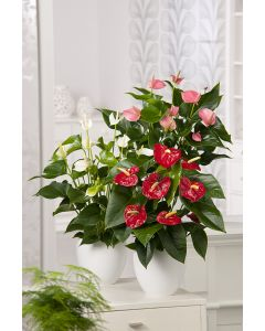 Anthurium ou langue de feu