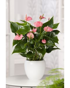 Anthurium 'Pink Champion'