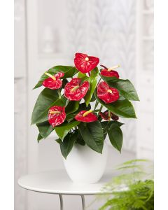 Anthurium 'Red Champion'