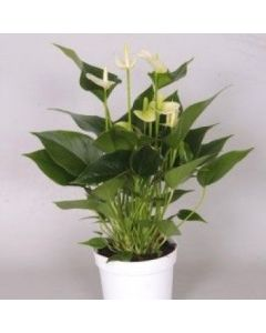 Anthurium 'White Champion®'