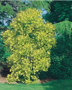 Arbre à perruque Golden Spirit®