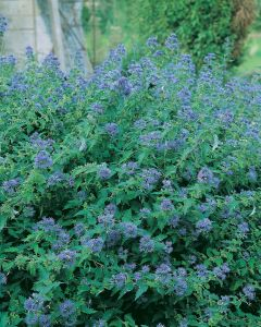Barbe bleue 'Heavenly Blue'
