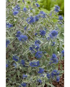 Barbe bleue 'Sterling Silver'