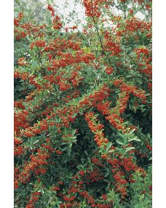 Buisson ardent 'Dart's Red'