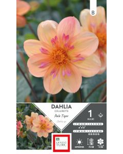 Bulbe de Dahlia à collerette Pale Tiger