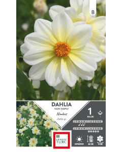 Bulbe de Dahlia nain simple Nimbus