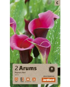 Bulbes d'Arums Majestic Red hybrides, calibre 14+ (x2)