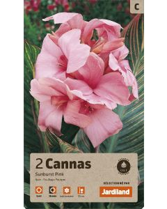 Bulbes de Cannas Sunburst Pink calibre 1 (x2)