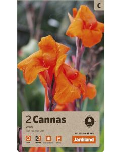 Bulbes de Cannas Verdi calibre 1 (x2)