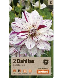 Bulbes de Dahlias Bright Diamond décoratifs, calibre 1 (x2)