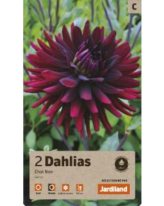 Bulbes de Dahlias chat noir cactus calibre 1 (x2)