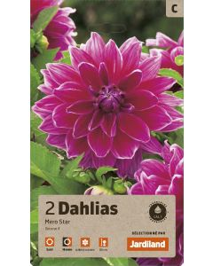 Bulbes de Dahlias mero star décoratif calibre 1 (x2)