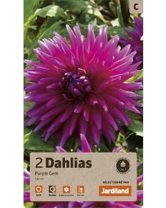 Bulbes de Dahlias Purple Gem cactus, calibre 1 (x2)