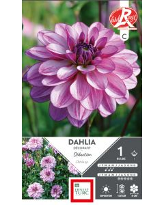 Dahlia décoratif séduction - Sachet de 1 bulbe
