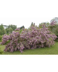 Deutzia Purpurascens 'Kalmiiflora'