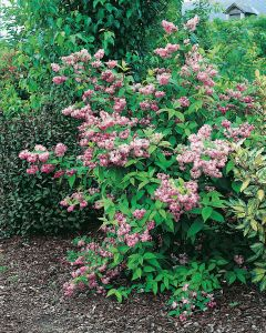 Deutzia X Hybrida 'Tourbillon Rouge'