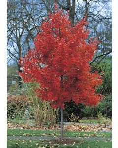 Érable Rouge 'October Glory'