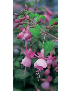 Fuchsia 'Beacon Rosa'