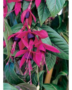 Fuchsia 'Lady Boothby®'