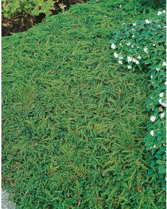 Genévrier commun 'Green Carpet'