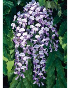Glycine du Japon 'Domino'