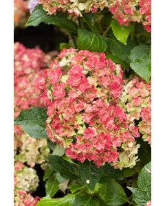 Hortensia 'You And Me Together'