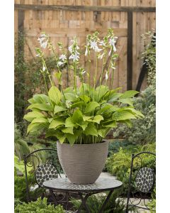 Hosta 'Royal Standard', funkia 'Royal Standard'