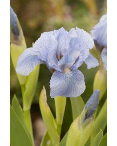 Iris des jardins blue denim