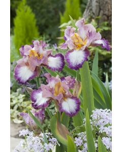 Iris des jardins change of pace
