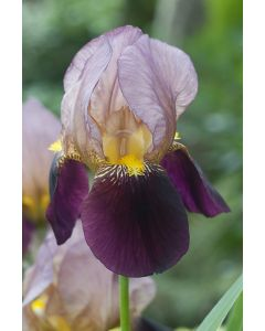 Iris des jardins indian chief
