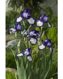 Iris des jardins stepping out