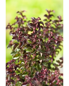 Leucothoe Axila Twisting Red