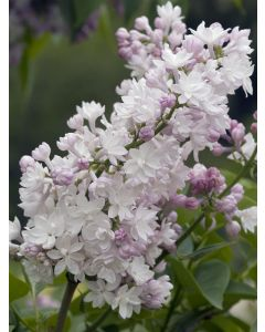 Lilas Commun 'Beauty Of Moscow'