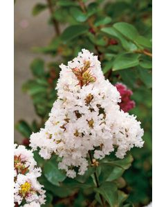 Lilas Des Indes 'Burgundy Cotton' blanc