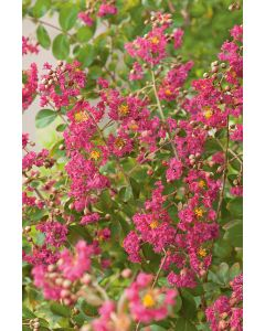 Lilas Des Indes Red Imperator®
