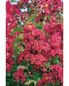 Lilas Des Indes 'Red Rocket'