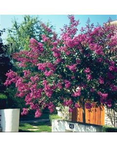 Lilas Des Indes Terre Chinoise®