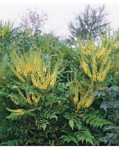 Mahonia 'Winter Sun'