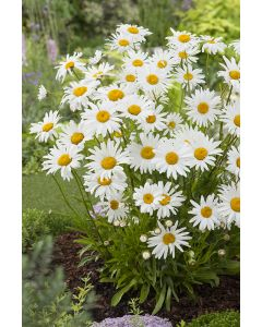 Marguerite d'Été 'Little Princess'