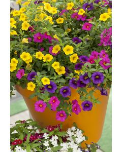 Mini-pétunia, calibrachoa