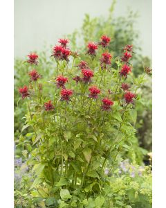 Monarde 'Cambridge Scarlet'