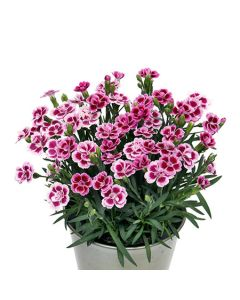 Oeillet 'Pink Kisses®' - Pot Ø.12 cm