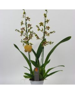 Orchidée Cambria 'Tropic Jungle'