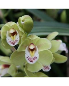 Orchidée cymbidium 'Mini'