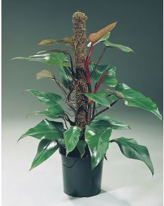 Philodendron 'Red Emerald'