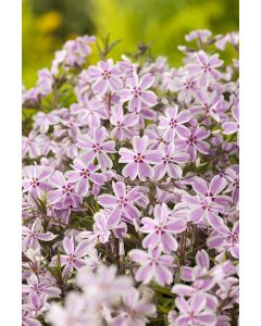 Phlox mousse 'candy stripes rose'